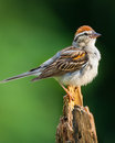Chipped sparrow a perched on on a pine stump Royalty Free Stock Image