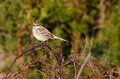 Chipping Sparrow Perched on Thorny Bush Royalty Free Stock Image