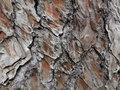 Chir pine bark Royalty Free Stock Photo