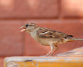 Chirping little sparrow on a table Royalty Free Stock Photo