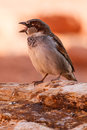 Chirping Mojave Desert Sparrow Stock Photo