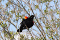 Chirping red winged black bird a small blackbird is perched on a branch in a tree Royalty Free Stock Photos