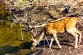 Chital Stag drinking at waterhole, Gir Natonal Park, Gujarat, India Royalty Free Stock Photo