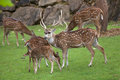 Chital Axis axis Royalty Free Stock Photo