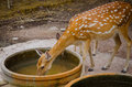 Chital or cheetal deer axis axis also known as spotted Stock Photography
