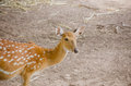 Chital or cheetal deer axis axis also known as spotted Royalty Free Stock Photo