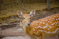 Chital or cheetal deer axis axis also known as spotted Royalty Free Stock Photos