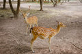 Chital or cheetal deer axis axis also known as spotted Stock Photos
