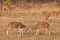 Chital or cheetal deers (Axis axis), Royalty Free Stock Photo