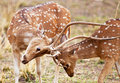 Chital or cheetal deers (Axis axis), Royalty Free Stock Photography