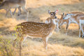 Chital Deer Doe Royalty Free Stock Photo