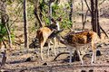 Chital Stag and Doe in open glade, Gir National Park, Gujarat, India Royalty Free Stock Photo