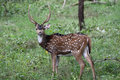 Chital Stag Royalty Free Stock Photo