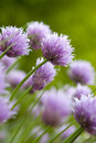 Chive Blossoms Royalty Free Stock Photo