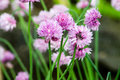 Chive flower in the summer Royalty Free Stock Photography