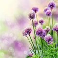 Chive flowers Royalty Free Stock Photo