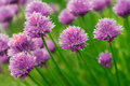 Chive flowers Stock Photos
