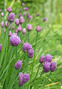 Chive flowers and flower buds in a garden Stock Photos