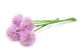 Chive flowers isolated on white background four a horizontal orientation Royalty Free Stock Photo
