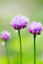Chive flowers macro close up of with shallow depth of field Royalty Free Stock Photography