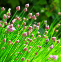 Chive flowers from the plant in bloom Royalty Free Stock Images
