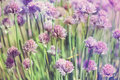 Chive herb flowers on beautiful bokeh background pastel colors with shallow focus Stock Photo