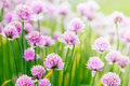 Chive herb flowers on beautiful bokeh background with shallow focus Stock Photo