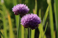 Chive macro shot of a warm summer day Royalty Free Stock Photo