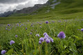 Chives allium schoenoprasum growing in hahnenmoospass switzerland Stock Images