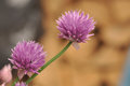 Chives allium schoenoprasum inflorescence two clusters Royalty Free Stock Photo