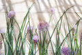 Chives in bloom time for creative cooking herbs Royalty Free Stock Image