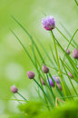 Chives blossoming herb with green natural blurred background Stock Photography