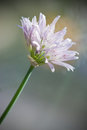 Chives flower Royalty Free Stock Images
