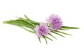 Chives flowers isolated on white Stock Photo
