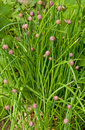 Chives in the gaeden. Royalty Free Stock Photos