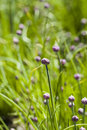 Chives growing locally edible plants Royalty Free Stock Photos