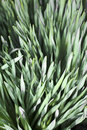 Chives onion flavored seasoning a large bed of pereneal plants Royalty Free Stock Image