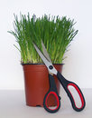 Chives in pottery with scissors Stock Images
