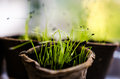 Chives sprouts closeup in biodegradable pots Royalty Free Stock Photo