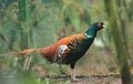 Chiwa pheasant Royalty Free Stock Photo