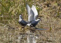 Chlidonias hybrida whiskered tern defending the nest Stock Photo
