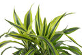 Chlorophytum evergreen perennial flowering plants in the family asparagaceae Stock Photo