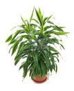 Chlorophytum evergreen perennial flowering plants in the family asparagaceae Stock Photos