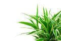 Chlorophytum plant evergreen perennial flowering plants in the family asparagaceae used and grown as a medicinal Royalty Free Stock Image