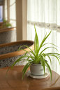 Chlorophytum is very suitable for interior decoration flower leisure and natural Royalty Free Stock Photos