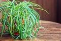 Chlorophytum in white flowerpot on wooden background . Ornamental plants in pot /Variegatum,comosum. Spider Plant Royalty Free Stock Photo
