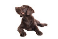 Chocolat labrador retriever puppy Royalty Free Stock Photo