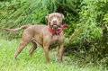 Chocolate American Pitbull Terrier dog with red collar