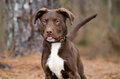 Chocolate American Pitbull Terrier Puppy Dog