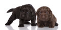 Chocolate and black labrador retriever puppies weeks old on white Stock Image